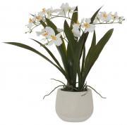 White Oncidium Orchid in Pot  -  46 cm (TYAC 88)